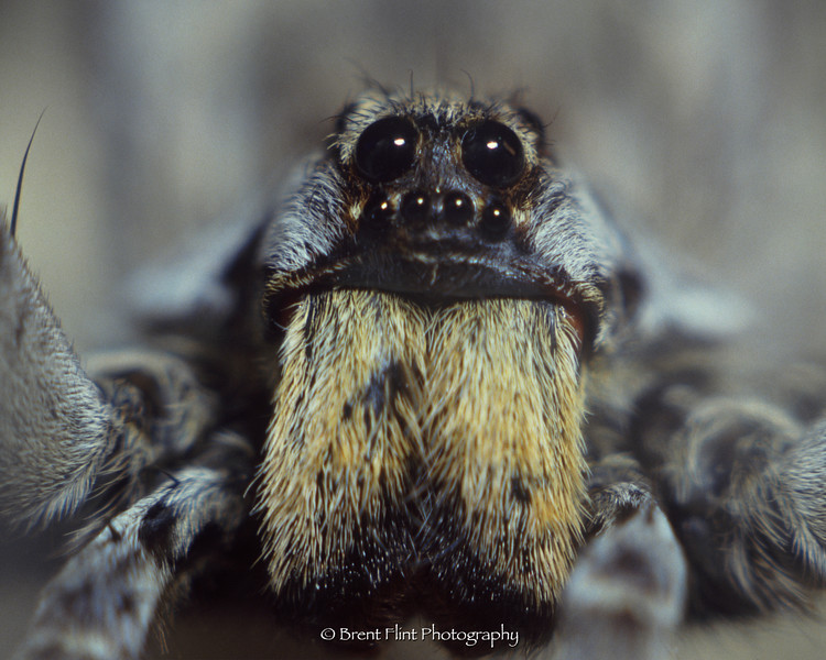 S.1881 - wolf spider face, Douglas County, CO.
