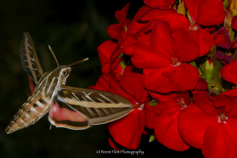 DF.198 - sphinx moth in flight around geranium, Bonner County, ID.