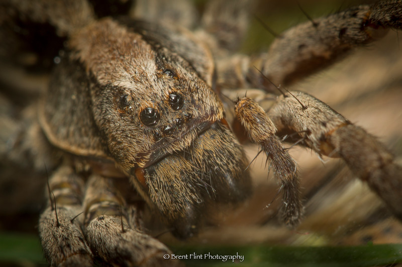 DF.4556 - wolf spider female, Bonner County, ID.