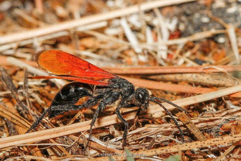 DF.3774 - Spider wasp (Hemipepsis ustulata), Bonner County, ID.