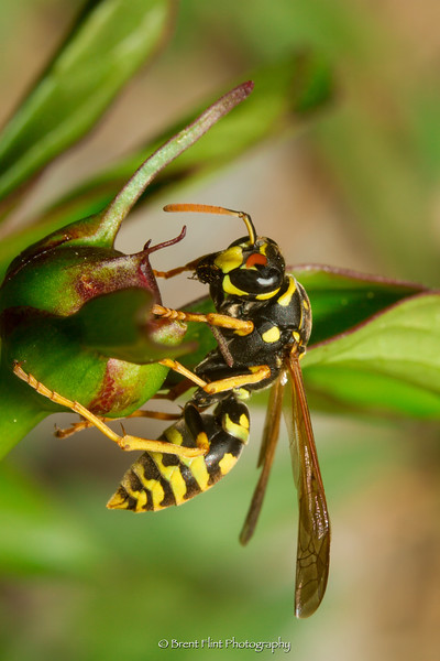 DF.4560 - European paper wasp on peony, Bonner County, ID.