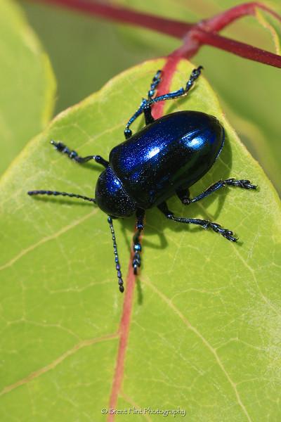 DF.476 - blue milkweed beetle, Boundary County, ID.