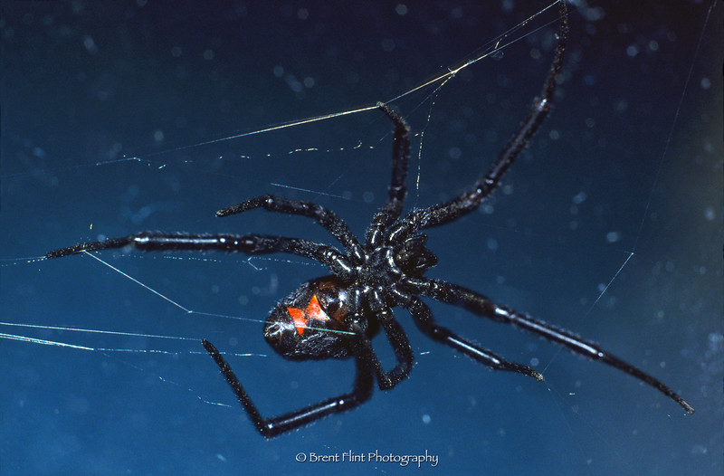 S.2048 - black widow, Douglas County, CO.