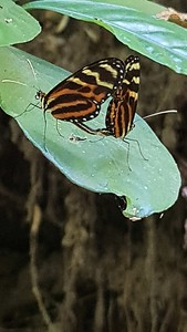 Tropical butterfly on a flower in Costa Rica