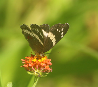 Tropical buttefly on a flower in Costa Rica