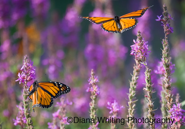Monarch Butterfly Pair