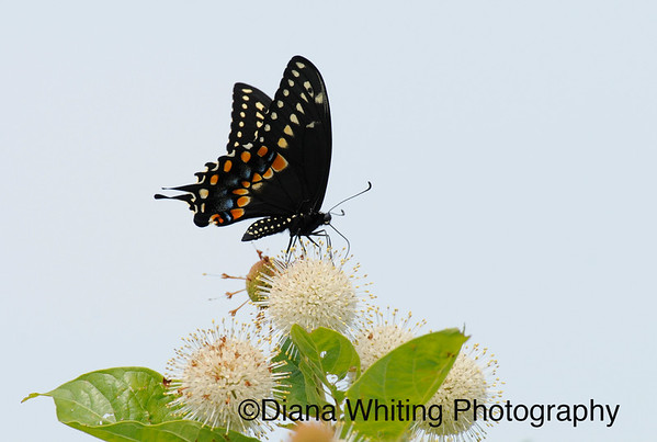 Swallowtail on Button Bush_DEW0006 copy