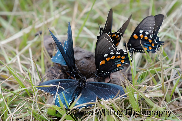 Spicebush Swallowtails on Scat
