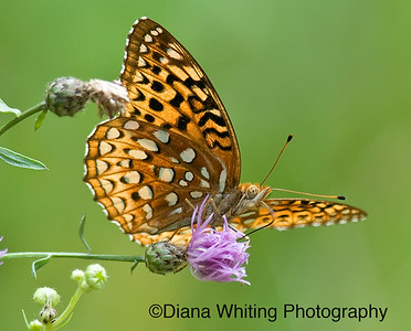 Great Spangled Meadow Fritillary