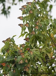 Monarch Roost
