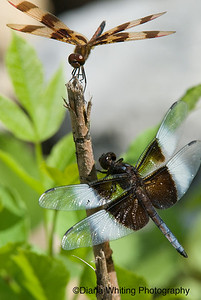 Male Haloween Pennant and Widow Skimmer Dragonflies copy