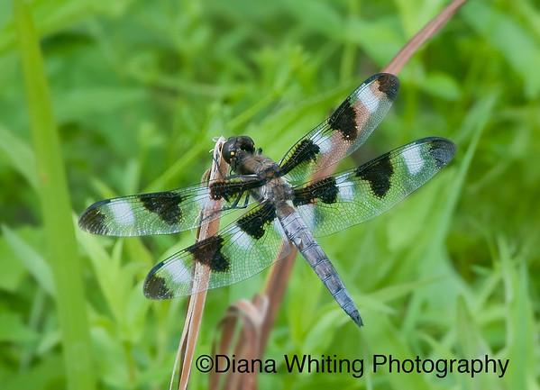 Twelve Spotted SkimmerDragonfly