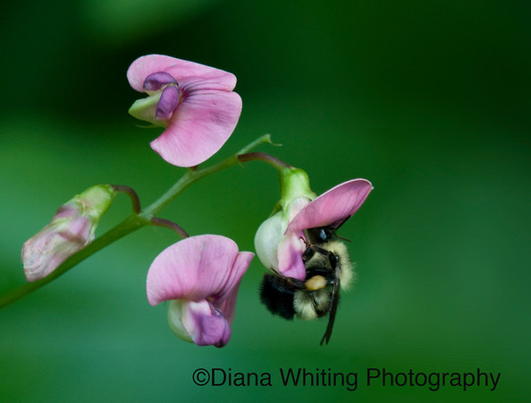 Bee on Sweet Peas