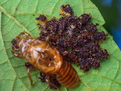 Defensive agglomeration of beetle larvae
