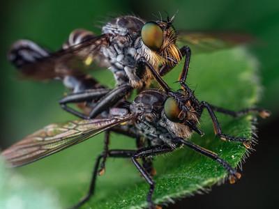 Robberflies mating