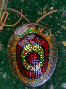 'target' tortoise beetle