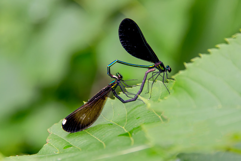 Ebony Jewel-wing Damselfly's mating