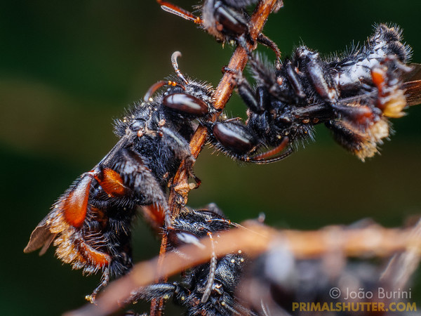 Group of stingless bee sleeping
