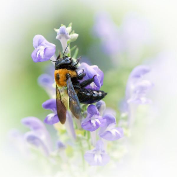Bumble Bee on flower. Springfield Botanical Gardens at Nathanael Greene Park.