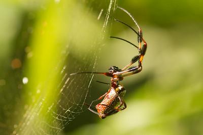 Orb Spider-7285
