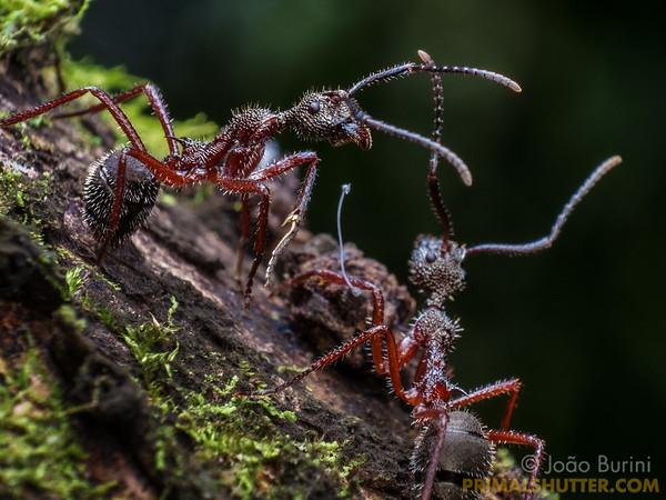 Spiny ants herding a wooden scale bug