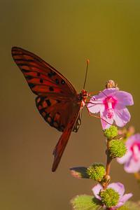 1210-9139 Gulf-Fritillary Butterfly
