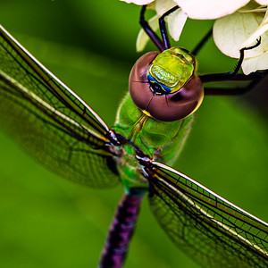 Giant Darner Closeup