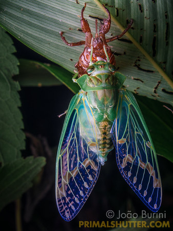 Cicada drying the new exoskeleton after moulting