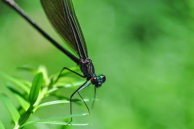 Ebony Jewelwing Dragon Fly