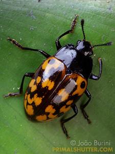 Orange spotted fungus beetle