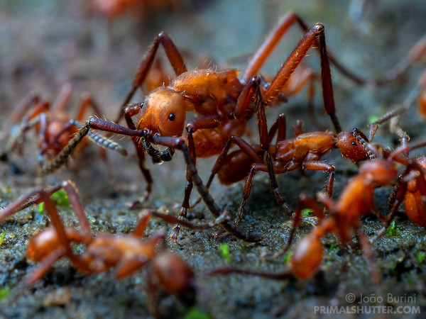Army ant soldier amongst workers in a raid