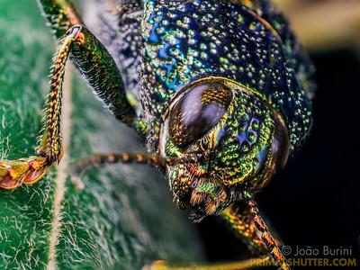 Head close-up of a metallic jewel beetle