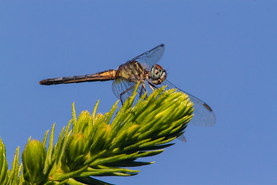 Dragonfly-0425