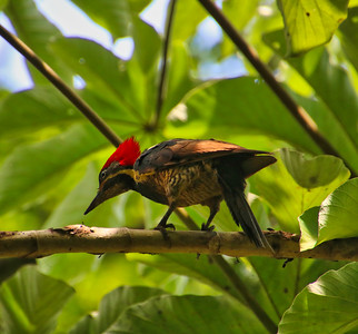 Lineated Woodpecker - Birdwatching in Costa Rica