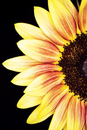 Summer Sunflower 19