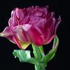 Tantalizing Tulip
