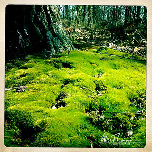 Moss in Iroquois Park - Louisville, KY