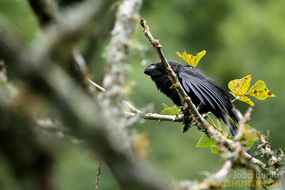 Smooth-billed ani (Crotophaga ani) in Intervales State Park, Brazil. South-east atlantic forest reserve, UNESCO World Heritage Site.
