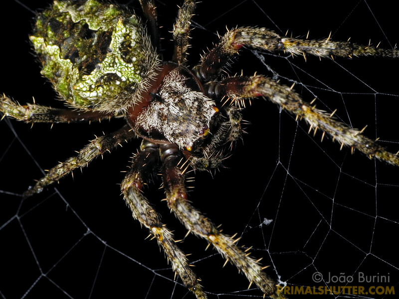 Orb weaving spider (Araneidae, Parawixia) in Intervales State Park, Brazil. South-east atlantic forest reserve, UNESCO World Heritage Site.