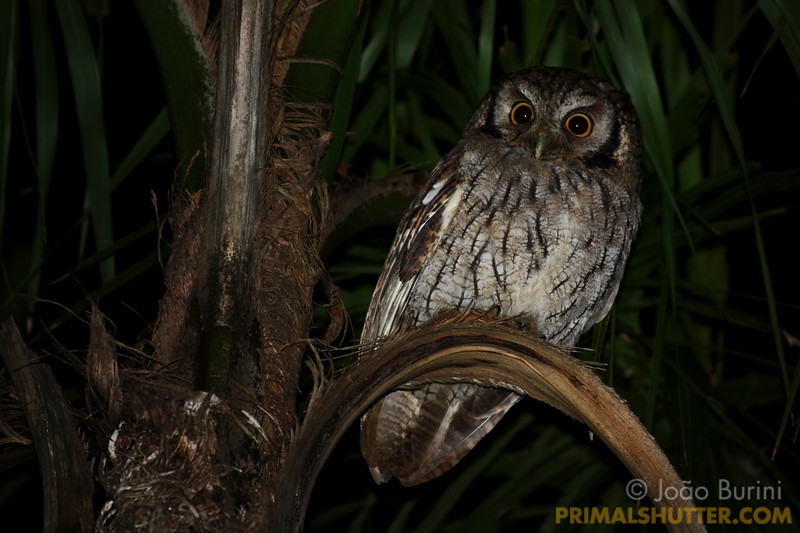 Tropical screech owl (Megascops choliba) in Intervales State Park, Brazil. South-east atlantic forest reserve, UNESCO World Heritage Site.