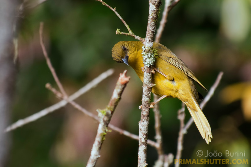 Olive-green tanager (Orthogonys chloricterus) in Intervales State Park, Brazil. South-east atlantic forest reserve, UNESCO World Heritage Site.