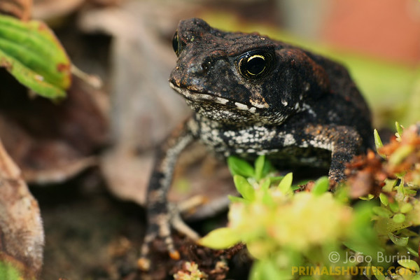 Juvenile of a Rhinella toad (Bufo), in Intervales State Park, Brazil. South-east atlantic forest reserve, UNESCO World Heritage Site.