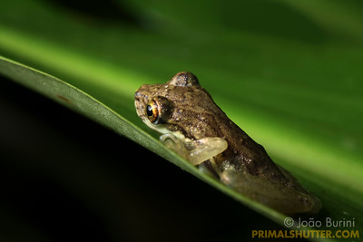 Scinax perpusillus treefrog (Hylidae), in Intervales State Park, Brazil. South-east atlantic forest reserve, UNESCO World Heritage Site.
