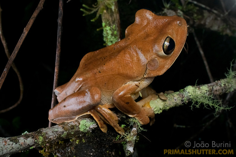 Boana faber treefrog (Hypsiboas), in Intervales State Park, Brazil. South-east atlantic forest reserve, UNESCO World Heritage Site.