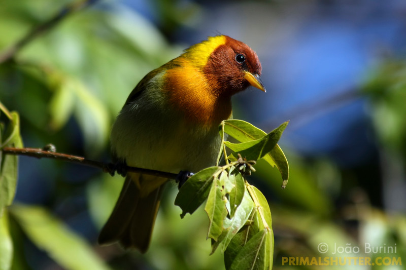 Rufous-headed tanager (Hemithraupis ruficapilla) in Intervales State Park, Brazil. South-east atlantic forest reserve, UNESCO World Heritage Site.