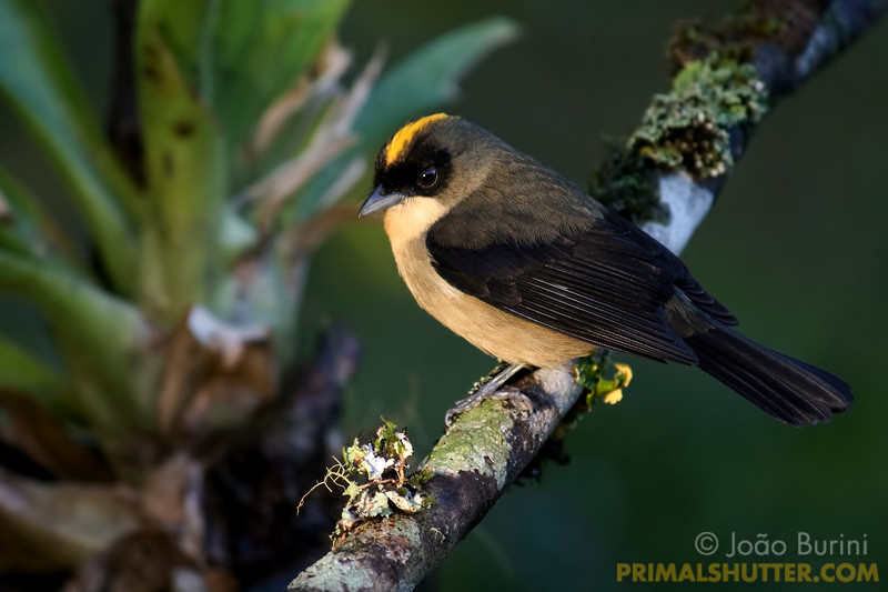 Black-goggled tanager (Trichothraupis melanops), in Intervales State Park, Brazil. South-east atlantic forest reserve, UNESCO World Heritage Site.