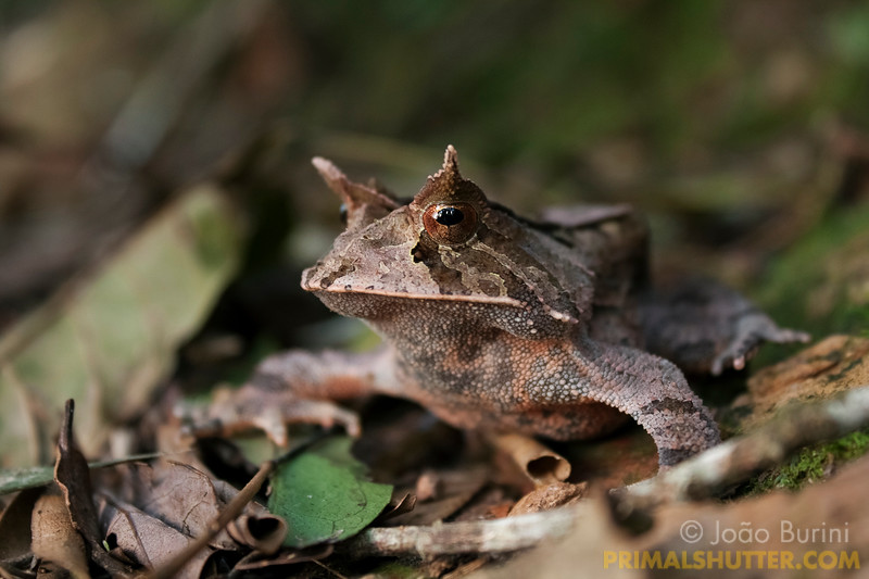 Horned frog (Proceratophrys boiei) on the leaflitter, in Intervales State Park, Brazil. South-east atlantic forest reserve, UNESCO World Heritage Site.