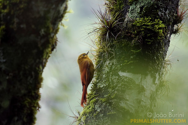 Olivaceous woodcreeper (Sittasomus griseicapillus) in Intervales State Park, Brazil. South-east atlantic forest reserve, UNESCO World Heritage Site.