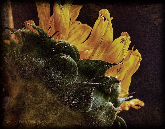 Last Sunflower
