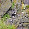 Macareux sur les falaises de Latrabjarg